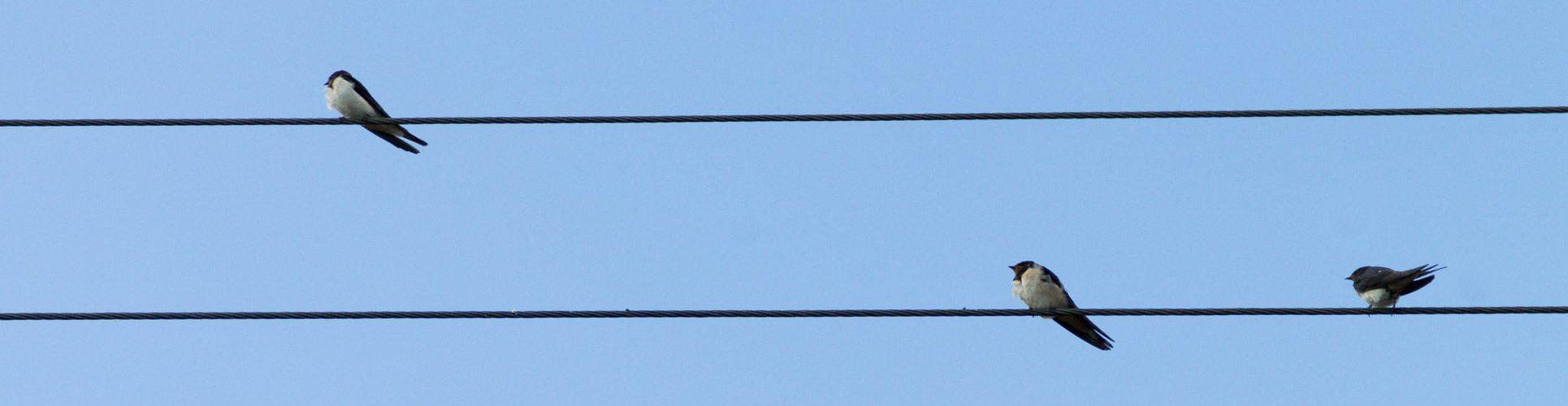 hirondelles sur un fil